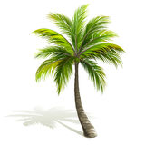 Palm Tree. With shadow isolated on white. Vector illustration Stock Image