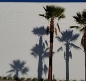 Palm Tree Shadows on White Background with Blue Sky - California Dream. Shadows are cast from a bright sunny day of Palm trees on a brilliant white wall with royalty free stock photos