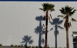 Palm Tree Shadows on White Background with Blue Sky - California Dream. Shadows are cast from a bright sunny day of Palm trees on a brilliant white wall with royalty free stock photo