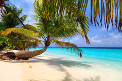 Palm tree on the shore of the Maldives Stock Photos