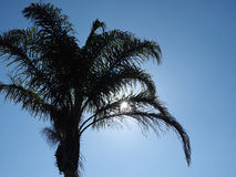 Palm tree silhouette in front of blue cloud less sky Stock Image