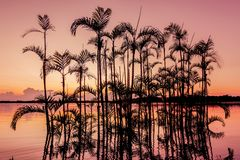 Palm Tree Silhouetted in the orange sunset, Amazonian Jungle royalty free stock photos
