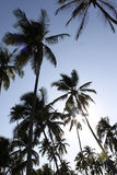 Palm Tree Silhouettes Royalty Free Stock Photos