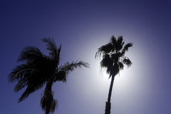 Palm tree silhouettes. In california Stock Photography