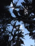 Palm tree silhouettes Royalty Free Stock Photos