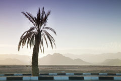 Palm Tree and Sinai Mountains Behind Stock Image