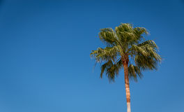 Palm tree. A single palm tree against a bright blue sky Royalty Free Stock Photo