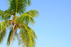 Palm Tree and Sky. Beautiful Green Palm Tree swaying in the wind with a nice blue sky in the background Stock Photos