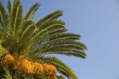 Palm Tree and Sky. Palm tree against a blue sky.  Space on right for copy Stock Photography