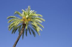 A palm tree. Royalty Free Stock Photos