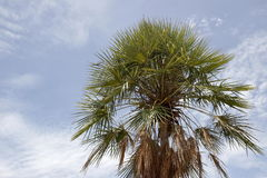 Palm tree. On sky background Royalty Free Stock Photo