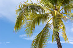 Palm tree on sky background. Palm tree on blue sky background Royalty Free Stock Image