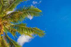 Palm tree on sky background Royalty Free Stock Photos