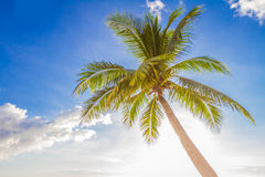 Palm tree on sky background Royalty Free Stock Images
