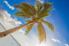 Palm tree on sky background Royalty Free Stock Photography