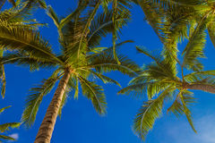 Palm tree on sky background Stock Photography