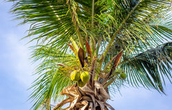 Palm tree on the sky Stock Photography