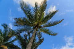 Palm tree and sky. Royalty Free Stock Photo