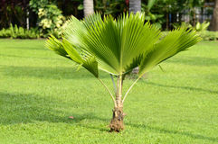 Palm tree. Small palm tree in Gardens Bangkok, Thailand Royalty Free Stock Photos