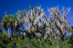 Palm Tree and Spanish Moss. Palm tree and trees with Spanish moss against a bright blue sky Stock Images