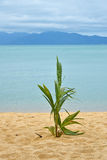 Palm tree sprout on sand sea beach. New green fresh coconut palm tree sprout shoot growing on sand beach shore over blue sea background Stock Photos