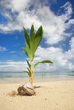 Palm tree sprout on a tropical beach, Nananu-i-Ra island, Fiji Royalty Free Stock Images