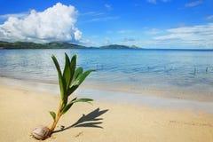 Palm tree sprout on a tropical beach, Nananu-i-Ra island, Fiji Stock Photography