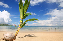 Palm tree sprout on a tropical beach, Nananu-i-Ra island, Fiji Stock Photos