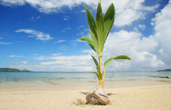 Palm tree sprout on a tropical beach, Nananu-i-Ra island, Fiji Royalty Free Stock Photography
