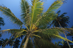 Palm tree Sri Lanka Royalty Free Stock Image