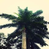 Palm Tree. Standing tall and Fearless stock photo