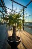 palm tree stands on a roof terrace royalty free stock photo