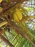 The palm tree strange hybrid. The fruit of the palm tree strange hybrid with an elongated shape Royalty Free Stock Image