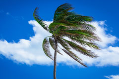 Palm tree in a strong wind stock photo