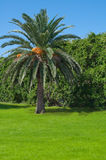 Palm tree in subtropics. Stock Image