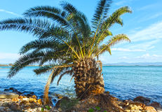 Palm tree on summer beach (Greece) Royalty Free Stock Photos