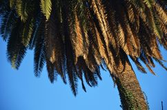 Palm tree in a summer day. A photography of a palm tree in a summer day. Palm tree with a clear blue sky on the background stock photography