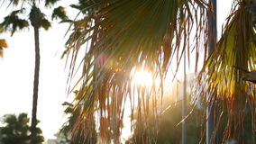 Palm Tree In The Sun. Close Up of Palm Tree Backlit By The Sun stock video
