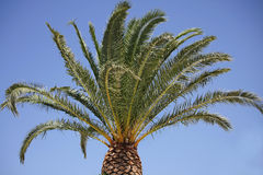 Palm tree and sunny blue sky Stock Photography