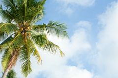 Palm tree on the sunny blue sky with white clouds Royalty Free Stock Photos