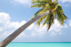 Palm tree at sunny day. Kuramathi island, one of the Maldives, Indian ocean Stock Image