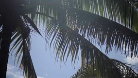 Palm tree at sunny day. Palm tree with coconuts at sunny day stock video footage