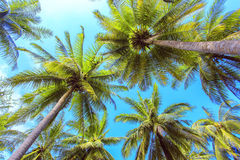 Palm tree with sunny day. Jungle of Thailand. Koh Samui island. Stock Photos