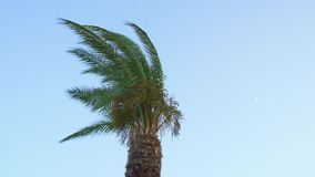Palm tree on a sunny day. Under a strong wind stock footage