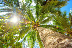 Palm tree with sunny day. Thailand. Koh Samui island. Stock Image