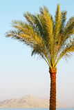 Palm tree on sunset. Palm tree, Red Sea and mount background on sunset stock images