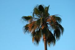 Palm Tree at Sunset. Golden sunset lights up palm tree stock photography