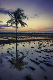Alone tropical Palm tree at sunset in a field with water in asia. Vertical picture of a lone palm tree and reflection in a rice field filled with water at sunset Royalty Free Stock Photo