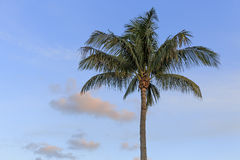 Palm Tree Sunset. A palm tree at sunset in Florida with copy space Royalty Free Stock Photo