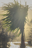 Palm Tree At Sunset. Palm Leaves Blow In The Wind On the Isle Of Arran In Scotland Stock Photos